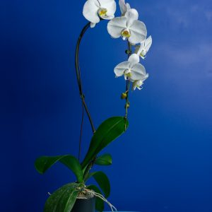 Brut Cascade Blanc (10cm)