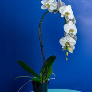 Brut Cascade Blanc (12cm)