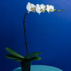 Brut Droit Blanc (12cm)